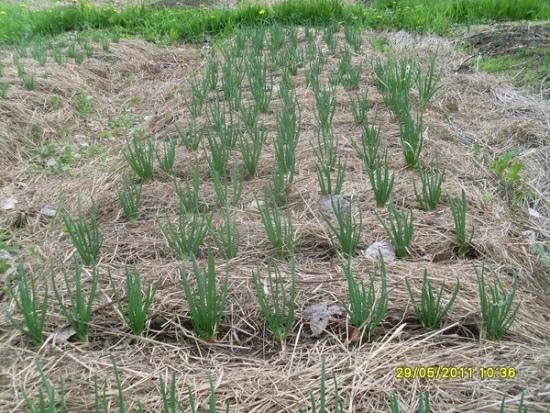 лук, нетрадиционное земледелие