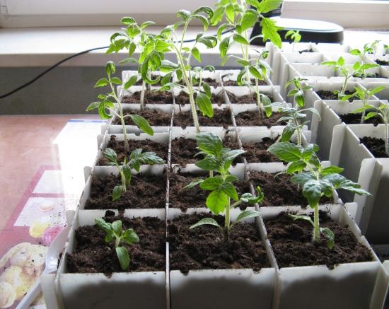 Комнатные томаты