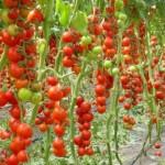 <b>Выращивание в теплице - некоторые особенности</b>