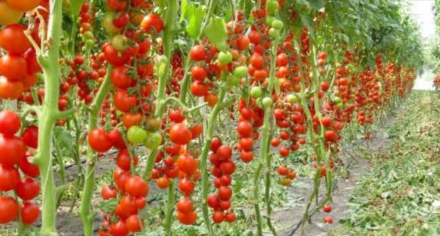 Выращивание в теплице томаты