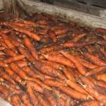<b>Как хранить морковь </b>