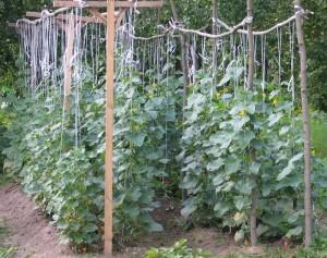 Выращивании огурцов