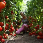 <b>Выращивание томатов</b>