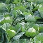 <b>Высокий урожай капусты – результат правильного выращивания</b>