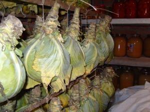 выращивание капусты хранение капусты