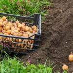 <b>Выращивание картофеля-правильная агротехника</b>