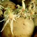 <b>Эффективные технологии выращивания картофеля</b>