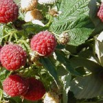 <b>Выращивание малины - агротехника</b>