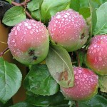 <b>Выращивание яблони</b>