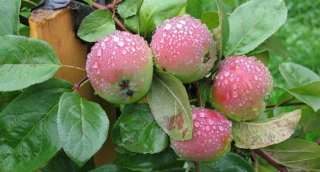 Выращивание яблони
