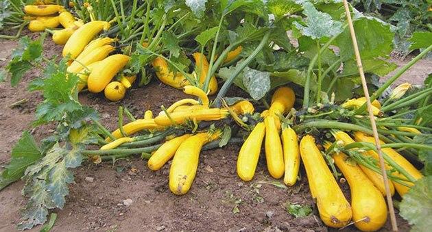 Выращивание кабачков