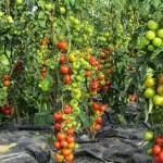 <b>7 правил высокого урожая томатов</b>