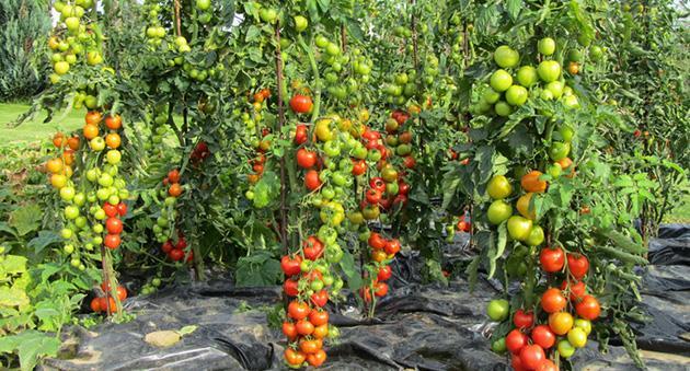 высокий урожай помидор