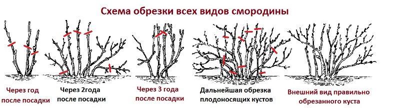 obrezka_smorodini3