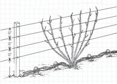 Живая изгородь из ежевики