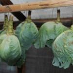 <b>Как хранить капусту.Условия хранения</b>