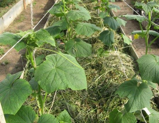 выращивание огурцов -мульча