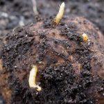 <b>Проволочник в картошке - 7 проверенных способов борьбы</b>