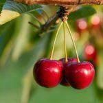 <b>Особенности обрезки груши, вишни и черешни</b>