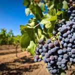 <b>Обработка винограда осенью и весной</b>