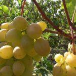 <b>Сорта винограда Долгожданный и Кардинал</b>