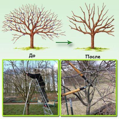 Обрезка плодовых деревьев-груши,вишни и черешни, Особенности подрезки плодовых  деревьев